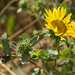 Flickr photo 'Coastal Gumweed' by: Elaine with Grey Cats.