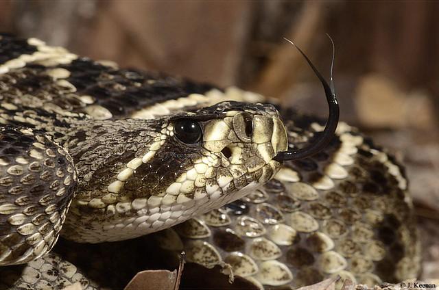 Eastern Diamondback Rattlesnake - Crotalus adamanteus