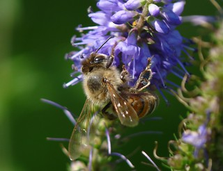 Honey Bee Macro taken with a Panasonic FZ28 using a LUMIX LC55 P1160075 | by Ted_Roger_Karson