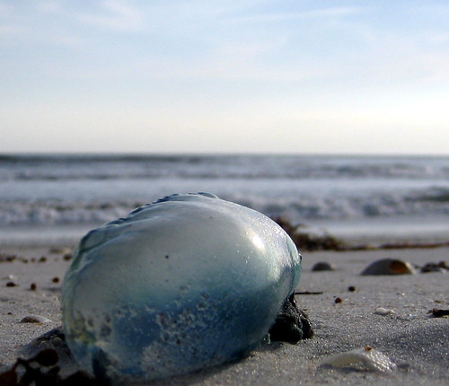 Portuguese Man-of-War   by Mary Witzig