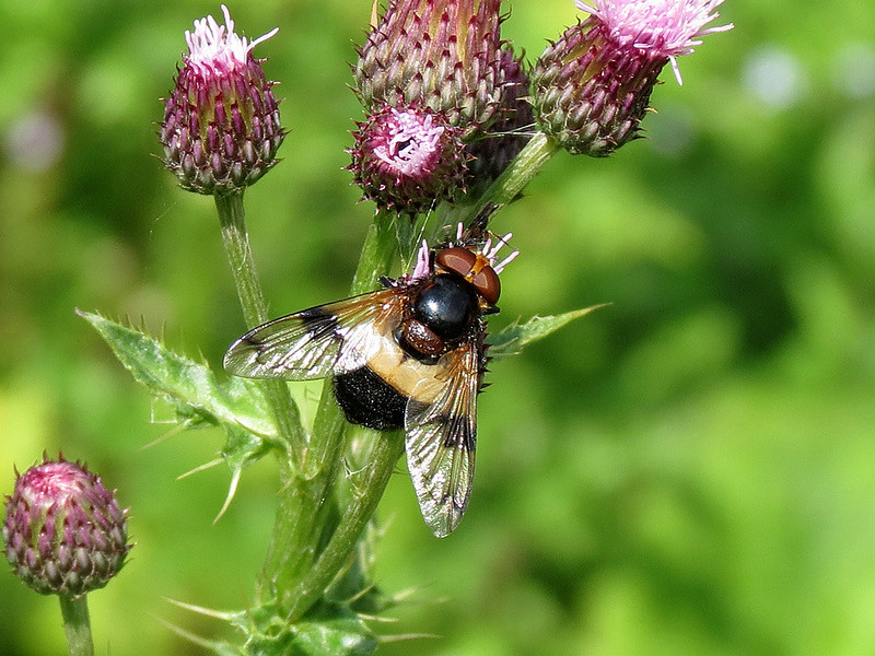 Hoverfly - Volucella pellucens