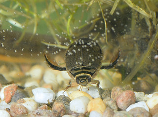 Diving Beetle | by Kentish Plumber