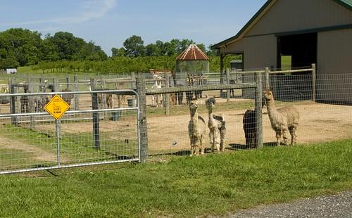 Alpacas, Moore or Less Farm, Bushwood