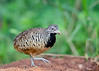 Barred Buttonquail (Female) - Turnix suscitator (2) by Andy_LYT