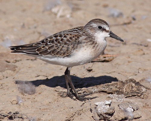 Semi-palmated Sandpiper | by Keith Carlson