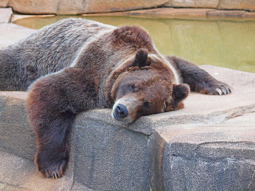 Resting Bear   by Jim Bauer