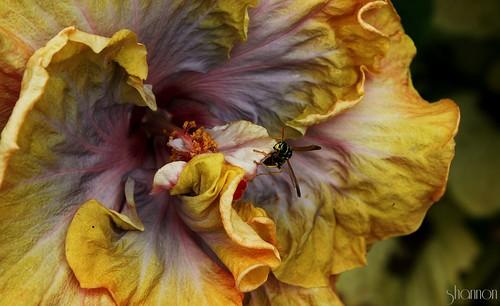 lebanon pa yellowjacket tropicalhibiscus canoneosrebelt2i shannonroseoshea