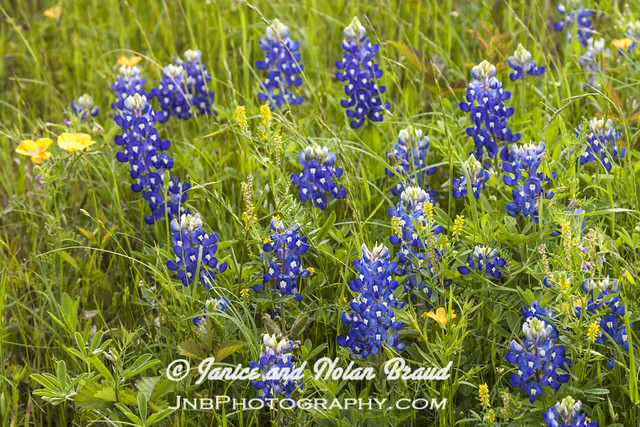 Bluebonnets JNB087815