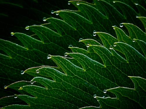 plant macro green leaves patterns raindrops veins melianthusmajor 1bluecanoe