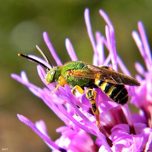 green nikon florida metallic bees bee coolpix liatris palmbeachcounty agapostemon halictidbee agapostemonsplendens taxonomy:genus=agapostemon frenchmansforestnaturalarea taxonomy:binomial=agapostemonsplendens