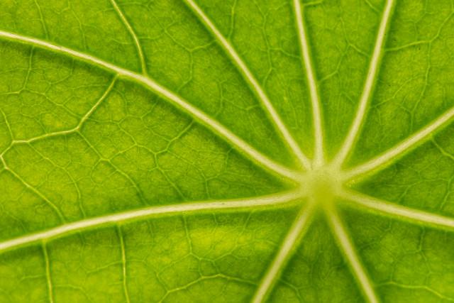 20160516_8894_7D2-100 Nasturtium Leaf (from top)