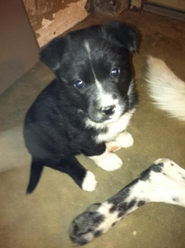 PUPPIES | Border Collie/Labrador Retriever Mix | — ADOPTED
