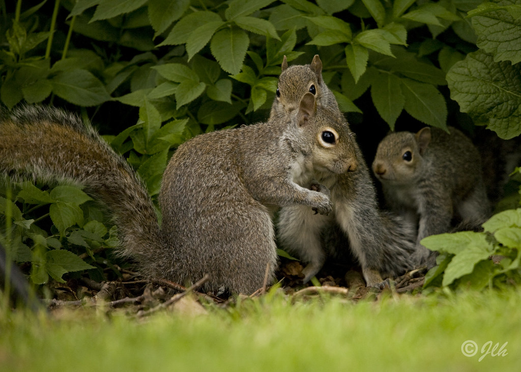 A picture of a squirrel mother and her babies.