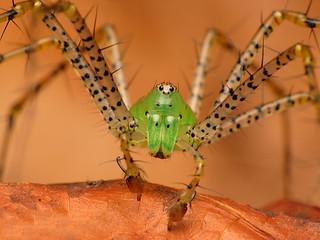 Green Lynx Spider, Peucetia viridans [Explored]   by TGIQ