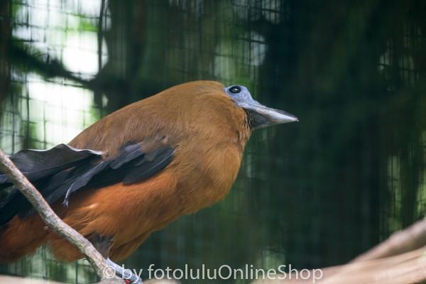 Kapuzinerkotinga_Perissocephalus tricolor-2