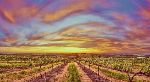 sunset colour vines south australia valley barossa imagery lyndoch