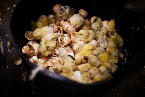 Investigation into chicken hatcheries