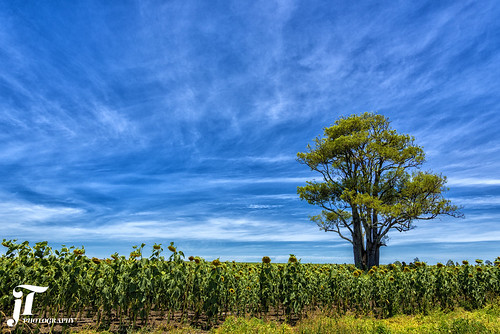 field sunflowers clouds tree outdoors nikond750 queensland