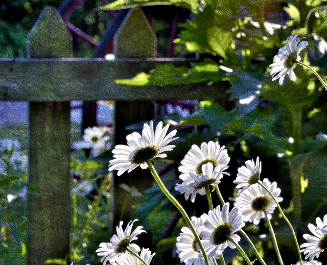 Picket Fence With Daisies