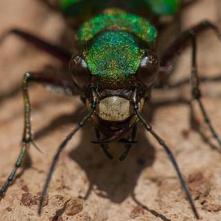 Green Tiger Beetle | by Moonrhino