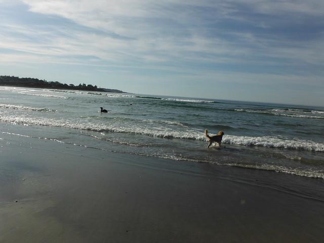 Dogs in the ocean