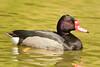 Pato negro, macho (Netta peposaca) by pablo_caceres_c