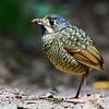 Variegated Antpitta - Tovacuçu - Grallaria varia #antpitta #passarinhandopelobrasil #trilhadostucanos #tapirai #ciroalbano #nebrazilbirding #mybestbird #birdsofinstagram