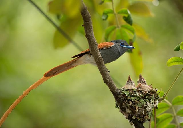 Paradise Flycatcher, Terpsiphone viridis, Falcon College, Esigodini, Zimbabwe