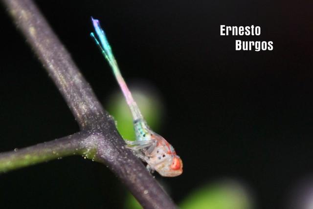 insecto ninfa