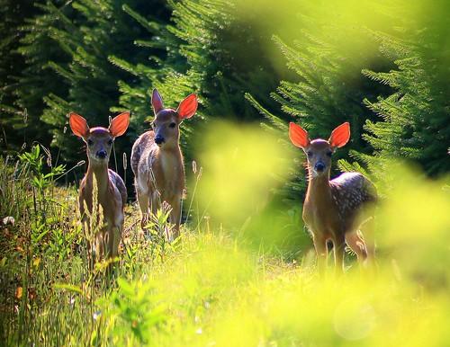 backlight sunrise glow deer explore pennslyvania odocoileusvirginianus whitetaildeer explorefrontpage explorepage1 explore84 explore25 hawkmountainpa orwigsburgpa