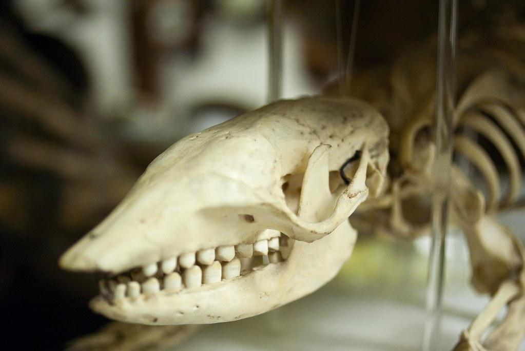 Seven-banded armadillo skull