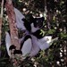 Indri - Photo (c) Bernard DUPONT, some rights reserved (CC BY-SA)
