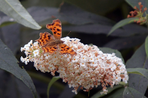 Comma Butterfly, Martin Mere WWT, Burscough, Lancashire, August 2012