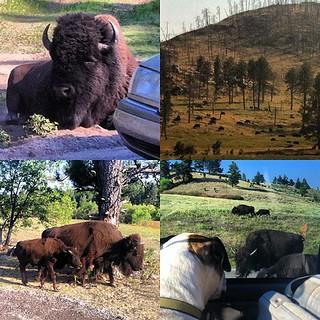 Where the buffalo roam... | by justjamey