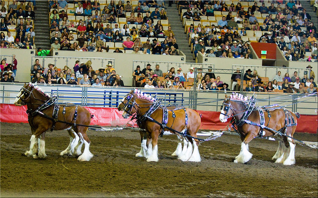Clydesdales at the Grand National Rodeo