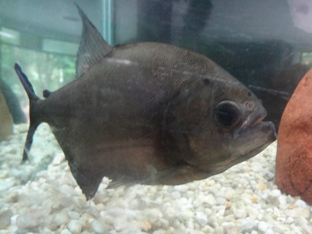 Piraya piranha (Pygocentrus piraya)