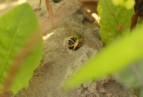 burrowing bee makes nest underground | by naturalflow