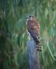 Falco punctatusDFL mad07-2 by barbetboy