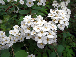Spiraea | by onnola