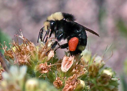 Bumblebee loaded with orange pollen