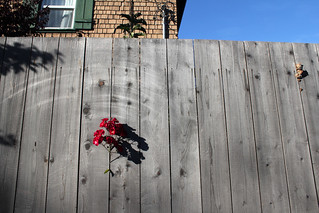 The rose and the fence | by quinn.anya