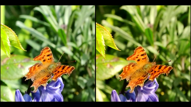 Comma Butterfly on Hyacinth flower - 3d movie clip - crossview