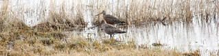 Hudsonian Godwit Pair | by USFWS Mountain Prairie