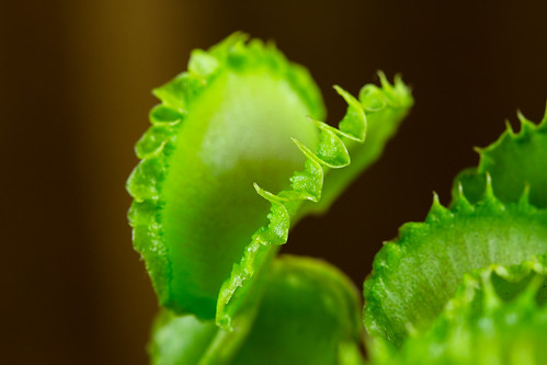 Seed grown Dionaea 006 | by Taudan Plants