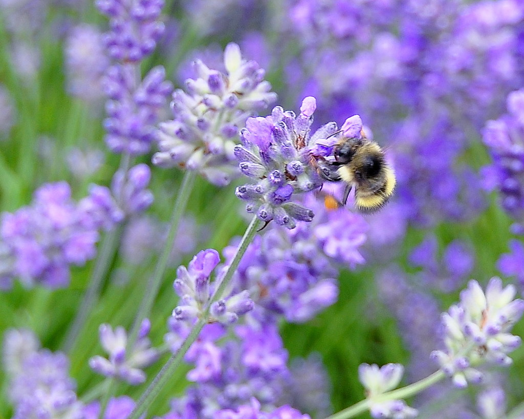 Lavender and bumblebee
