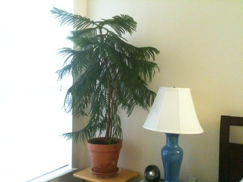 Reseated Norfolk Island Pine in Terra Cotta Pot | by brownpau