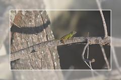 Anolis común de jardín (A. distichus dominicensis)