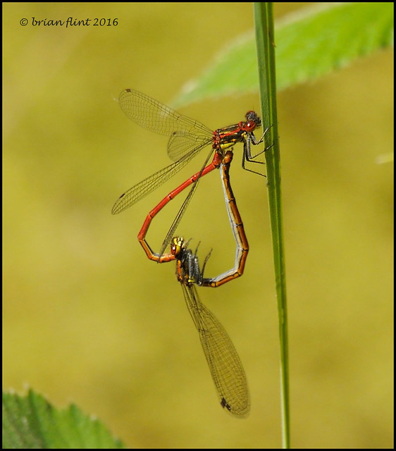 Large Red Damselfly - pair