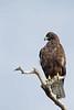 Galapagos Hawk (Buteo galapagoensis) by DragonSpeed