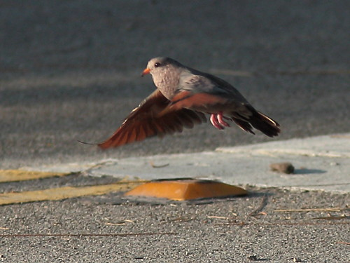 Common Ground-Dove in flight 20120731
